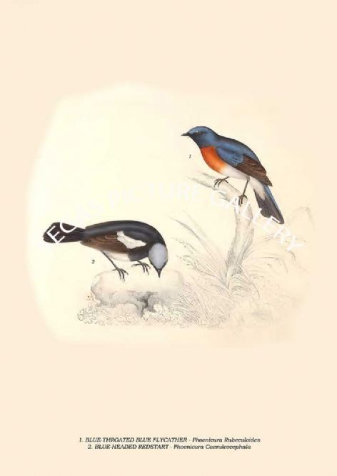 Fine art print of the BLUETHROATED BLUE FLYCATHER Phoenicura Rubeculoides, BLUE-HEADED REDSTART Phoenicura Caeruleocephala by John Gould (1831) reproduced by Segas Picture Gallery.